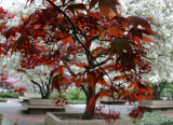 Japanese Red Leaf Maple & Crab Apple Trees in Bloom