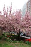 Cherry Tree Blossoms & Tulips