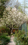 Apple Tree in Bloom at the End of the Garden Path