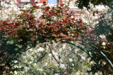 Don Juan Rose Arbor & Apple Tree Blossoms