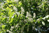 Unknown Tree Blossoms - Lilac Fragrance