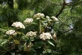 Viburnum Bush Blossoms & Pine Tree
