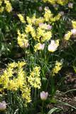 Daffodils & Tulip
