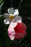 Daffodil & Tulip