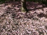 Ground Cover  - Dappled Sunlight & Cherry Blossom Petals