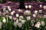 White Tulips Carpeted with Cherry Blossom Petals