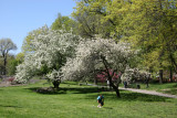Tai Chi under an Apple Tree in Blossom
