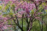 Cercis Tree in Bloom