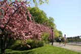 Central Park Cherry Tree Grove