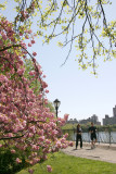 Cherry Trees & Jogging Path at the Reservoir