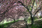 Cherry Tree Grove Path