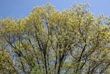 Oak Tree Top Foliage