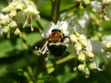 A Bee on Horse Chestnut Tree Blossoms
