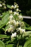 Horse Chestnut Tree Blossoms