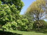 Chestnut & Oak Tree