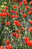 Tulips in the Marionette Theatre Garden