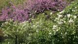 Fothergilla & Cercis Tree Blossoms