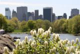 Fothergilla Blossoms, the Lake & Central Park South Skyline