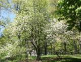 Apple Tree in Bloom near West 68th Street
