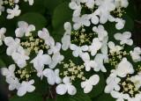 Viburnum Bush Blossoms