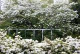 Dogwood Tree & Azalea Blossoms