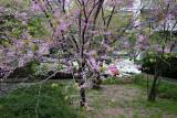 Garden View - Cercis Trees