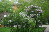 Lilac Bushes in Bloom