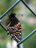 Young Butterfly on a Chain Link Fence