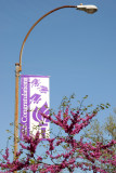 NYU Graduation Banner & Cercis Tree Blossoms