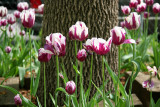 Tulips at the Base of an Elm Tree