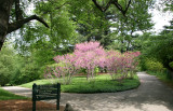 Cercis Trees in Bloom