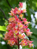 Chestnut Tree Blossom