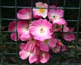 Rose Garden & Roses - New York Botanical Gardens