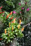 Pink Tsilandia, Yellow & Orange Bromeliad - Caribbean Garden Show