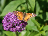 American Lady Butterfly on Allium Blossom