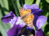 American Lady Butterfly on Iris Blossom