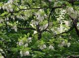 Locust Trees are in Bloom