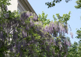 Wisteria Vines near Gay Street