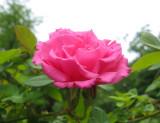 Zephrine Rose