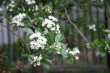 North Garden - Hawthorne(?) Trees in Bloom