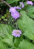 Stokesia Blossoms