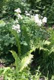 Meadow Rue & Ferns