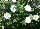 Henry Hudson Roses