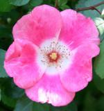 Meidiland Rose