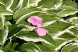 Hosta with Rose Petals