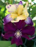 Iris & Clematis