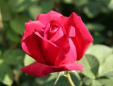 Chrysler Rose