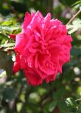 Senior Prom Rose