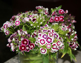 Dianthus - Sweet William