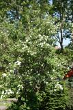 Mock Orange Bush
